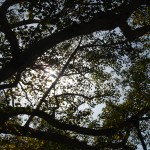 bodh gaya bodhi tree