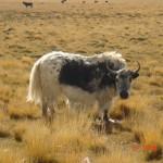 kailash cheaky yak