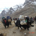 kailash yaks carrying our gear