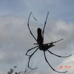 mysore chamundi spider