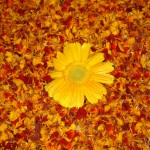 mysore flowers